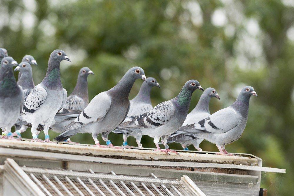 pájaros que deciden ser parásitos de cría