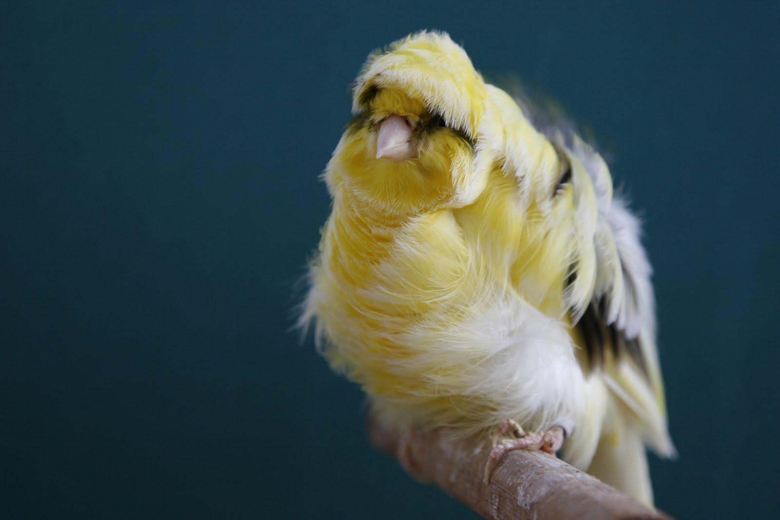 Canario Rizado Gigante Italiano Aves Exóticas