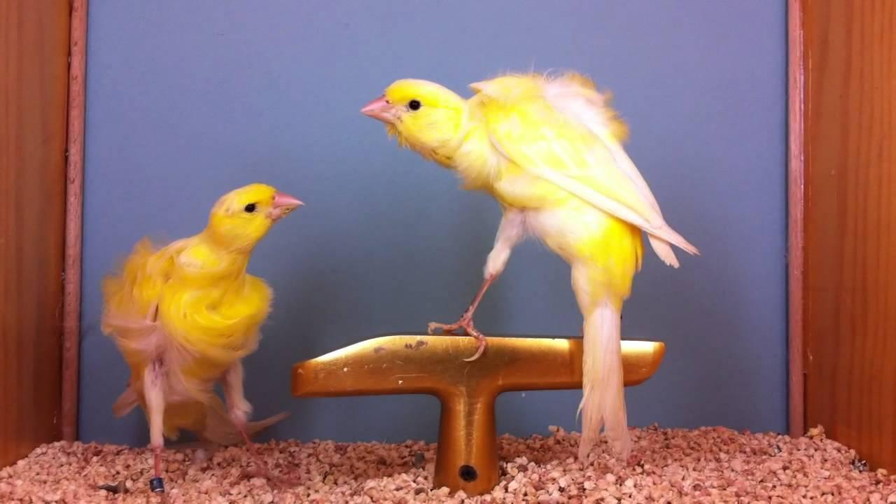 Canario Rizado Del Sur Aves Exóticas