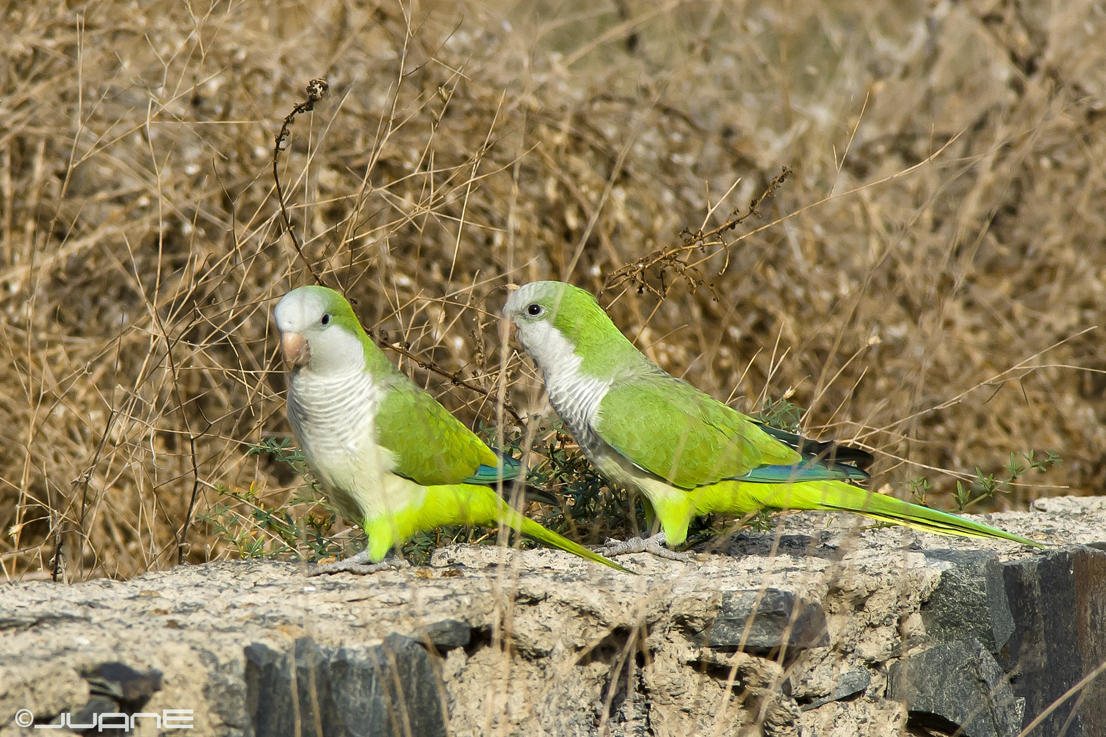 Cotorra Argentina Aves Exóticas