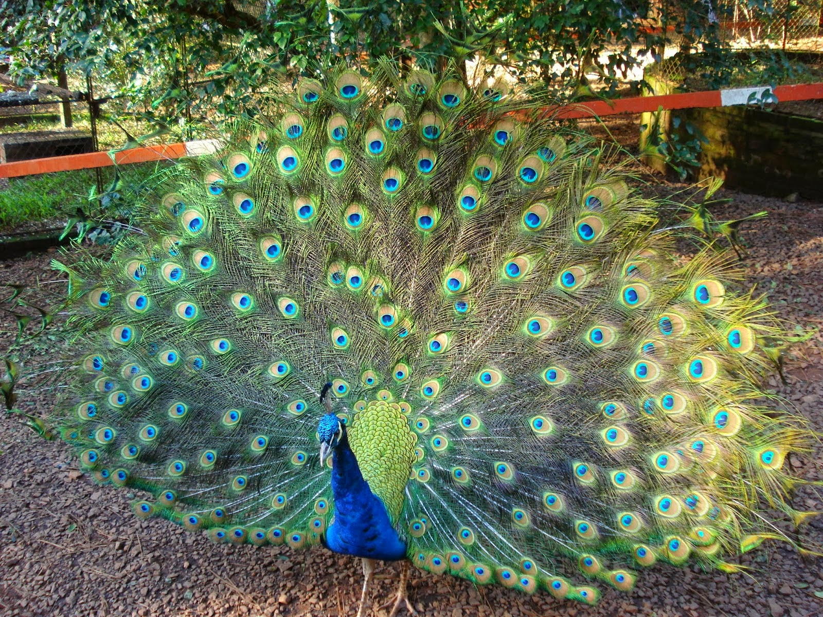 Im genes de p jaros y aves ex ticas aves ex ticas - Fotos de un pavo real ...