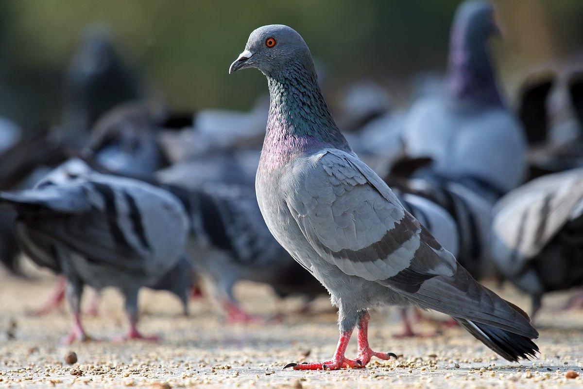 Paloma brav a aves ex ticas for Domestica in svizzera