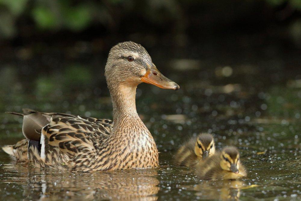 Patos una de las mejores aves dom sticas acu ticas for Imagenes de estanques para patos