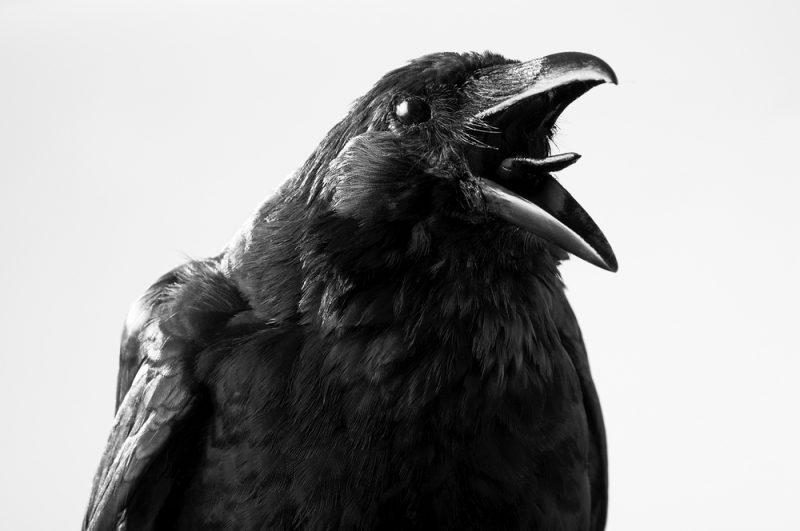 Cuervos 10