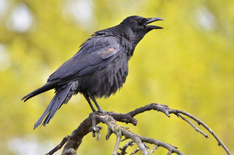Cuervos 6