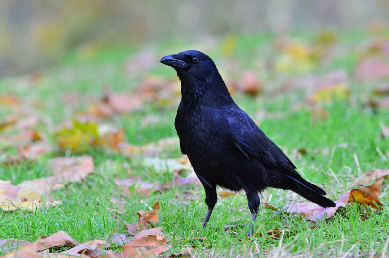 Cuervos 7