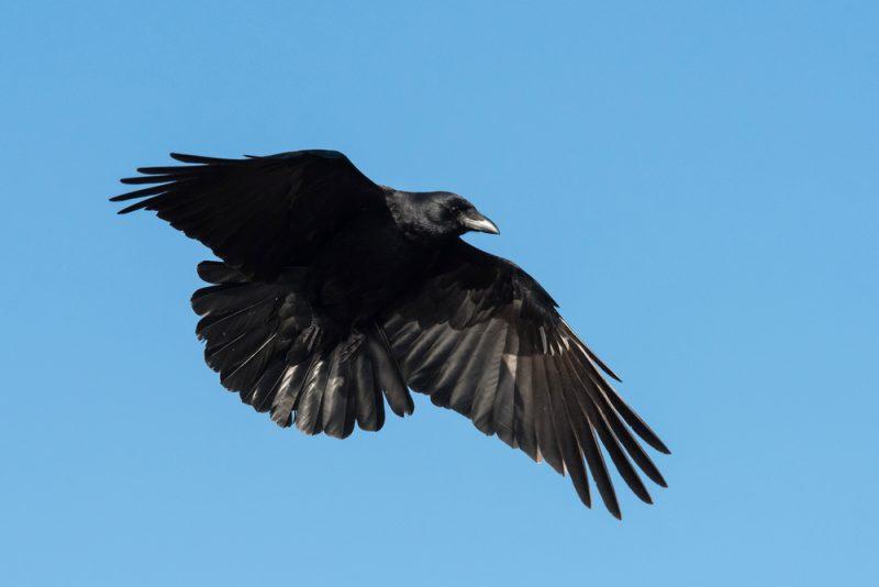 Cuervos 9