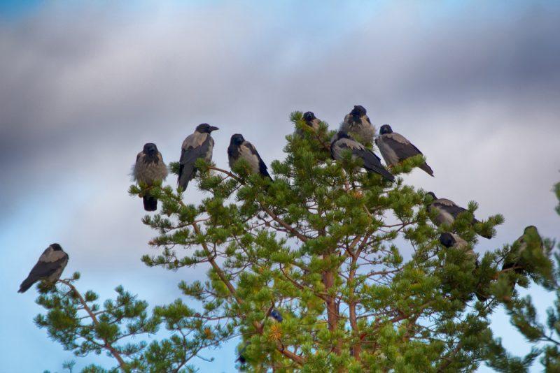Cuervos 4
