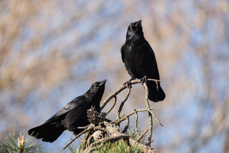 Cuervos 5