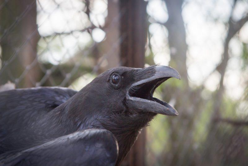 Cuervos 8