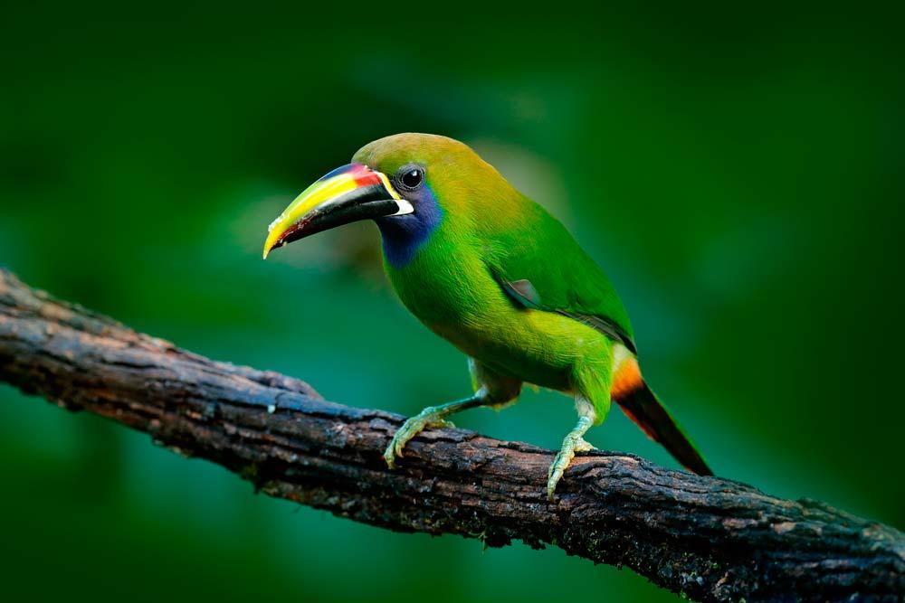 tucancito verde
