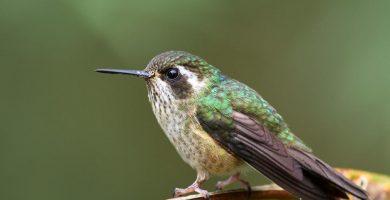 colibri jaspeado