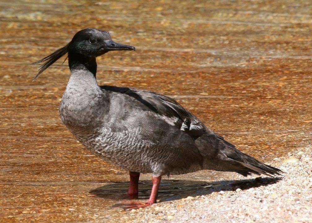 pato-serrucho