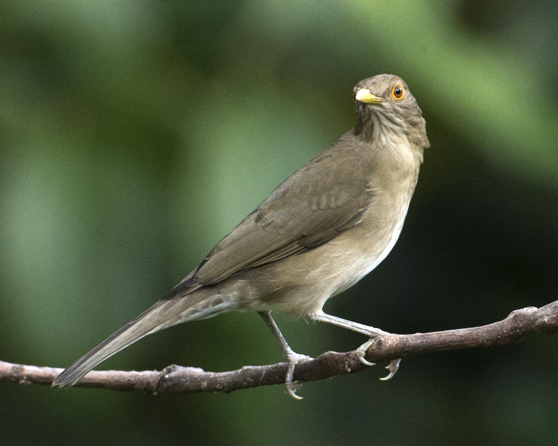 mirlo ecuatoriano