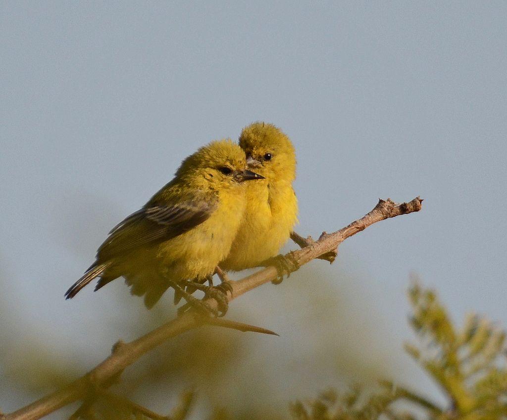 moscón amarillo