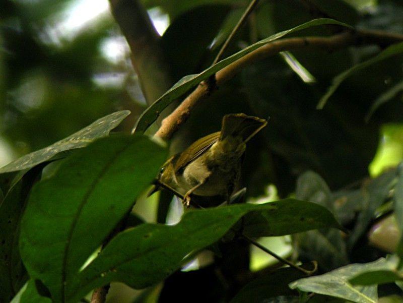 hilia-verde